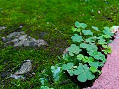 No. 1331 - 6 de enero/17 (s_manrique) Tags: plantas musgo piso verde