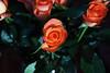 DSC_4241 Orange Roses (PeaTJay) Tags: nikond750 reading lowerearley berkshire macro micro closeups gardens indoors nature flora fauna plants flowers bouquetofroses rose roses rosebuds