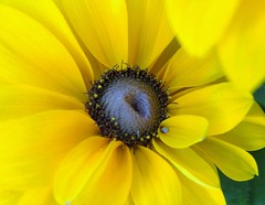 I am yellow 4 (Black eyed Susan) (gomosh2) Tags: yellow yellowflower flowermacro blackeyedsusan
