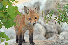 Wet Baby (marylee.agnew) Tags: baby fox red cute wet little nature rain spring outdoor wildlife canine young