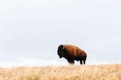 Yellowstone 19 ([Katsumi]) Tags: vscofilm04 yellowstone canon6d canon24105mmf4l outdoors exploring explore travel wyoming wildlife animal mammal bison buffalo