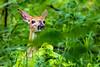 DSC_1846.jpg (David Hamments) Tags: familyofdeer fawn youngbuck deer ojibwaypark windsor