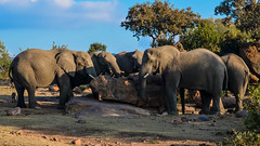 African Elephants (EXPLORED) (Butch Osborne) Tags: awesome amazing adventure fabulous animals nature southafrica bucketlist beautiful nikon elephants safari africa african huge mustsee puravida trees scenic interesting digitalefotografie fantastic grandcircletravel gct wild wildlife explored