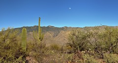 A Wide Angle View in Saguaro National Park to Saguaro Cactus, Mountain Peaks and the Moon (Saguaro National Park) (thor_mark ) Tags: nikond800e saguaronationalpark saguaronationalparkrinconmountaindistricteast lookingse day1 capturenx2edited colorefexpro desert desertlandscape sonorandesert saguaro cactus carnegieagigantea saguarocactus moon outside landscape nature sunny blueskies cactusacrossdesertlandscape mountains mountainsindistance mountainsoffindistance desertplantlife intermountainwest southwestbasinsandranges southeastarizonaranges huachucaarea rinconmountains cactusforestscenicloopdrive cactusforestdrive micaviewtrail moonrising moonrise arborescenttreelikecactus project365 portfolio unitedstates