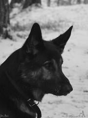 Old Shep (jondewi52) Tags: animal snow black dog german shepherd gsd winter white outdoors nature outdoor blackandwhite monochrome