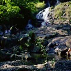 銀礦瀑布 (Steve only) Tags: rolleiflex standard model 621 carl zeiss jena 135 75cm 7535 75mm f35 noncoatedlens 白鏡 tlr fujifilm pro160c 6x6 120 mediumformat epson gtx970 v750 film landscape snaps island 梅窩 waterfall
