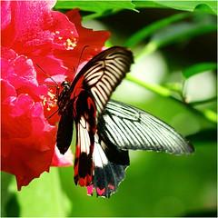 (atsjebosma) Tags: flower hybiscus bloem vlinder atsjebosma groningen the netherlands nederland butterfly red rood macro bokeh havelte vlindertuin butterflygarden coth5 ngc