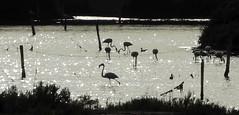 Olhão 2016 - Flamingos na Ria Formosa 02 (Markus Lüske) Tags: portugal algarve ria riaformosa formosa olhao olhão flamingo flamenco lueske lüske luske