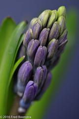 """Blue Hyacinth"" (A.J. Boonstra) Tags: falconeyessilverumbrella falconeyesreflector jinbeiwhiteumbrella falconeyesskk2150d ef100mmf28lmacroisusm canon canon70d canoneos bluehyacinth hyacinth"