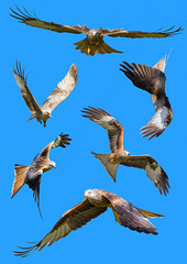 Red Kites (DP the snapper) Tags: rhayader powys wales kites photobook2016 birds montage gigrinfarm