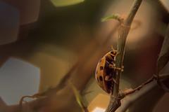 Ladybug (ppaschka) Tags: ladybug marienkäfer macro makro bug bokeh natur retroadapter canon 700d