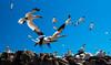 Gannet Colony (whidom88) Tags: gannet colony wexford ireland birds clear sky island