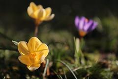 Crocus (morganelafond) Tags: crocus nature jaune fleur flower bokeh grass herbe jardin garden