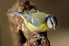 Cinciarella (AIIex) Tags: bird bluetit uccello nikon d7100 tamron 70300 wood bosco wild wildlife animal opensource darktable