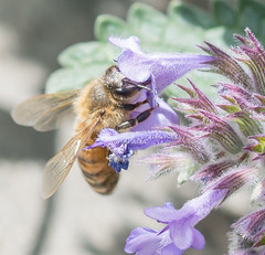 Lavender Lady. (Omygodtom) Tags: macromonday macro tamron tamron90mm natural nikkor nature nikon d7100 outdoors lavender insect existinglight elitebugs bee honeybee