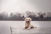 Mino | January 2017 (CarolinGreif-Fotografie) Tags: hund dog puppy nikon d700 sweet goldenretriever