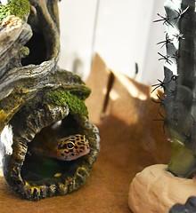 peeping toast (gale.savannah93) Tags: leopardgecko gecko reptiles terrariums herpetology toast animals pets