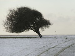 A Tree, Two Birds and Tracks in the Snow (cazjane97) Tags: benttree leaning lonetree snow tracks birds winter january crowlink sussex sussexdowns southdowns