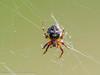 Furrow Orbweaver (xrxss15) Tags: animalia animals arachnida arachnids araneae araneidae araneomorphae arthropoda arthropods chelicerata dornbusch echteradnetzspinnen echtewebspinne europe furroworbweaver fühlerlose germany gliederfüser hiddenseeundrügen052016 inselhiddensee kieferklauenträger larinioides larinioidescornutus mecklenburgvorpommern schilfradspinne spiders spinnen spinnentiere tiere typicalorbweaverspiders webspinnen