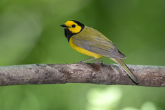 Hooded Warbler (Joe Branco) Tags: outdoors spring birds songbirds nature wildlife nikond500 nikon photoshopcc2017 lightroomcc2015 branco joe hookedwarbler green