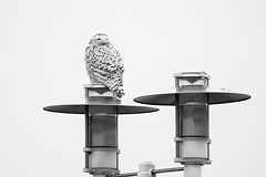 BW_Snowy (jmishefske) Tags: lakeshore january 2017 nikon owl lakefront wisconsin bird shore snowy perched milwaukee d500 lakemichigan