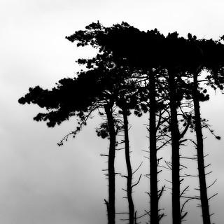 the six pine trees