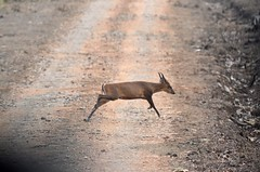 Barking Deer - Muntjac crossing the road (Smevin Paul) Tags: kabini bandipur trip february 2017 barking deer muntjac smevin paul smevinpaul smevinsphotography smevinpaulphotography smevinsphotos smevinsphotographs smevinpictures smevinspictures thrisookaran passion photography