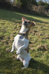The meerkat (KelJB) Tags: funny beautiful portrait dogpose dogstanding pose cute jackrussell animal pet canine tan white brown dog terrier jackrussellterrier
