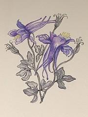 Aquilegia - mono foliage with a pop of petal colour.  Cold press watercolour paper. (janecarson3) Tags: warrior janecarsonart languageofflowers ireland dublin watercolour aquilegia