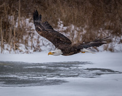 Over the Pond (hey its k) Tags: baldeagle birds birdsofprey canadianraptorconservancy nature wildlife vittoria ontario canada ca img1726e canon6d tamron 150600mm captive