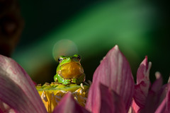 Holy frog (gnarlydog) Tags: kodaktelephoto152mmf45 cinelens adaptedlens manualfocus closeup frog nature bokeh bubbles flowers green vintagelens australia pink colorful shallowdepthoffield subjectisolation