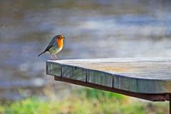 Robin at the Table (eric robb niven) Tags: ericrobbniven scotland robin wildlife wildbird nature