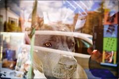 Every Dog Must Have Its Store Window (Steve Lundqvist) Tags: animals animali dogue mastiff neapolitan pitbull terrier bulldog wild pushy aggressive belligerant forceful hostile violent bold eyes impetuous dog dogs cane hund hound chien perro reflection windows store bordeaux open monster ugly scared scare orrible allaperto mustiff mastino cani animal animale pet fujifilm x100