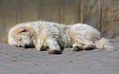 Non svegliare il can che dorme (let sleeping dogs lie) (giorgiorodano46) Tags: febbraio2017 february 2017 giorgiorodano nikon cane dog sleepingdog caneaddormentato pastoreabruzzese abruzzo italy roccadimezzo chien hund