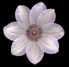 Clematis on Black (roddh) Tags: flower topv111 interestingness topv555 topv333 purple scanner clematis 100v10f symmetry scan 100th scannerphotography excellence onblack 600dpi roddh adminschoice frhwofavs