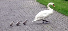 Crossing the street. (Margot) Tags: spring swan seasons cygnets margotpouw fowlfeatheredfriends margot