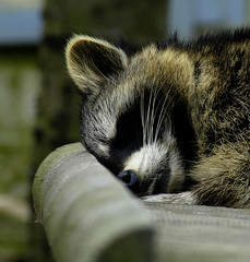 sleeping in the sun (bea2108) Tags: animal animals zoo racoon osnabrck racoons