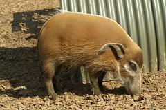 Oink (tim ellis) Tags: animals zoo pig african hog oink safaripark woburn redriverhog potamochoerusporcus msh0606 msh060611 taxonomy:binomial=potamochoerusporcus potamoch