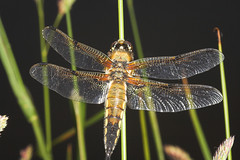 """Four-Spotted Chaser (Libellula quadri(4) • <a style=""""font-size:0.8em;"""" href=""""http://www.flickr.com/photos/57024565@N00/162944038/"""" target=""""_blank"""">View on Flickr</a>"""