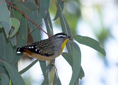 One Wednesday at the botanic gardens... (aaardvaark) Tags: australia canberra act spottedpardalote australiannationalbotanicgardens anbg