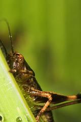 "Dark Bush Cricket juvenile (Pholidoptera griseoaptera) 2 • <a style=""font-size:0.8em;"" href=""http://www.flickr.com/photos/57024565@N00/167062336/"" target=""_blank"">View on Flickr</a>"