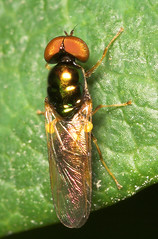 """Soldier Fly (chloromyia formosa)(1) • <a style=""""font-size:0.8em;"""" href=""""http://www.flickr.com/photos/57024565@N00/170626784/"""" target=""""_blank"""">View on Flickr</a>"""