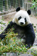 A break from bamboo (paigelynn) Tags: canon zoo interestingness panda sandiego 2006 giantpanda sandiegozoo baiyun pandas interestingness153 i500 paigelynn thebiggestgroup explore20jun06 paigemandera