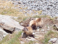 and there they were! (Lighthouse444) Tags: alps austria marmot grossglockner