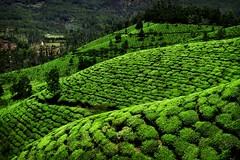 From the Leaf to your Cup (halfgeek) Tags: travel india green landscapes catchycolours tea tata kerala badge munnar plantations pleasantlytilted