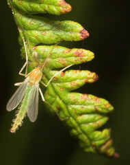 """Midge(2) • <a style=""""font-size:0.8em;"""" href=""""http://www.flickr.com/photos/57024565@N00/172570387/"""" target=""""_blank"""">View on Flickr</a>"""