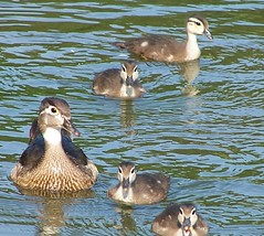 I thought I told you kids.....don't look directly at the camera! (makeupanid) Tags: toronto highpark ducklings liberoliber woodducks featheryfriday commentonmycuteness 123faves animaladdiction