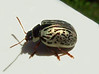 silver beetle (Zanastardust) Tags: nature animal silver bug insect backyard beetle insecte 100club chrysomelidae calligrapha jewelscarab