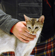 Comforting Hands (peter_hasselbom) Tags: cat abyssinian catshow cc100