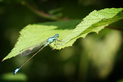 Blue Fly (Red Giraffe) Tags: blue colour macro mill water river canal fly pond dragonfly lock insects cox navigation coxs wey addlestone